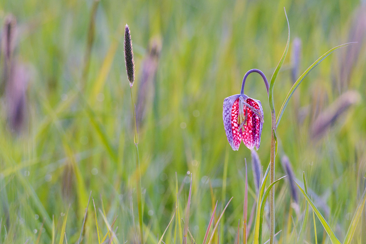 在春天,在一场蛇的head fritillary flower图片