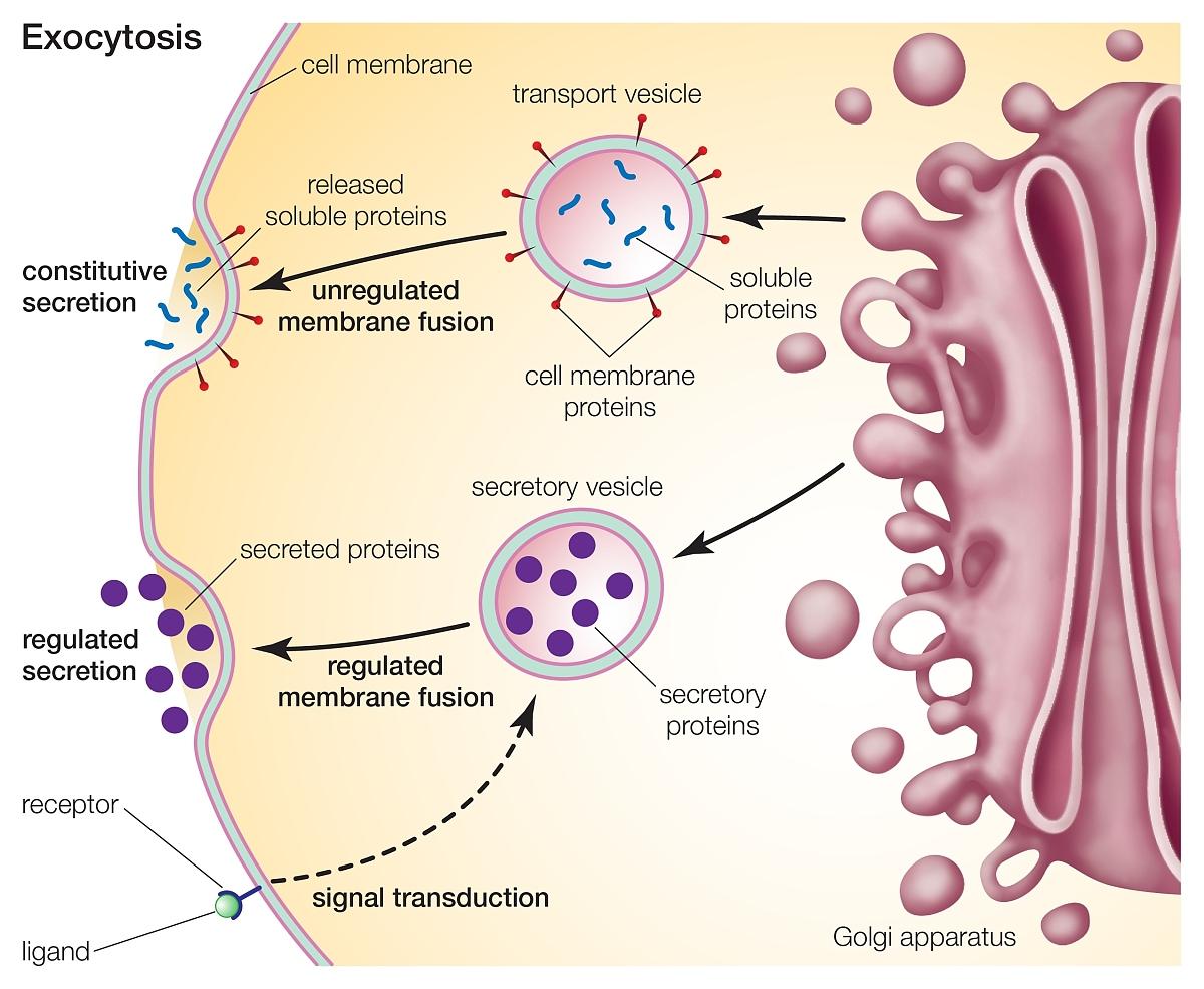 作用_胞吐作用,一种主要通过细胞膜转运的过程.