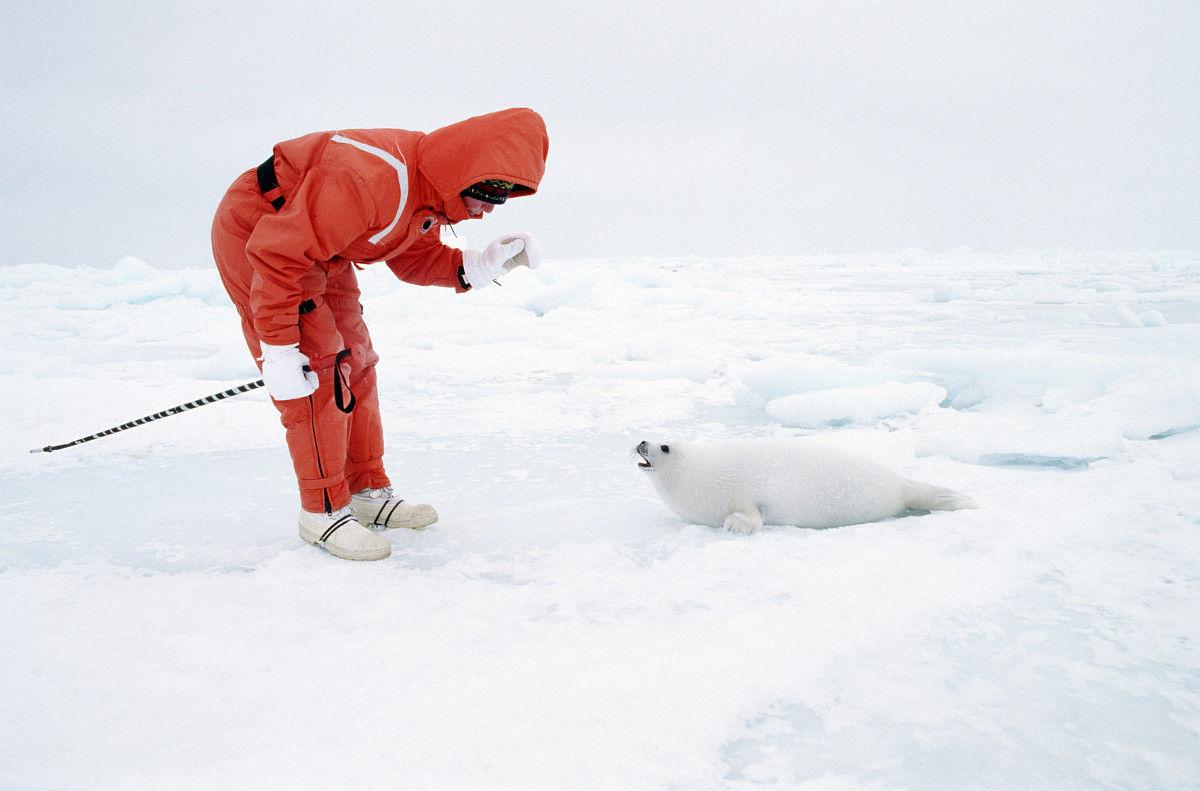 在救生服向竖琴小海豹在浮冰上弯曲的成熟女人图片