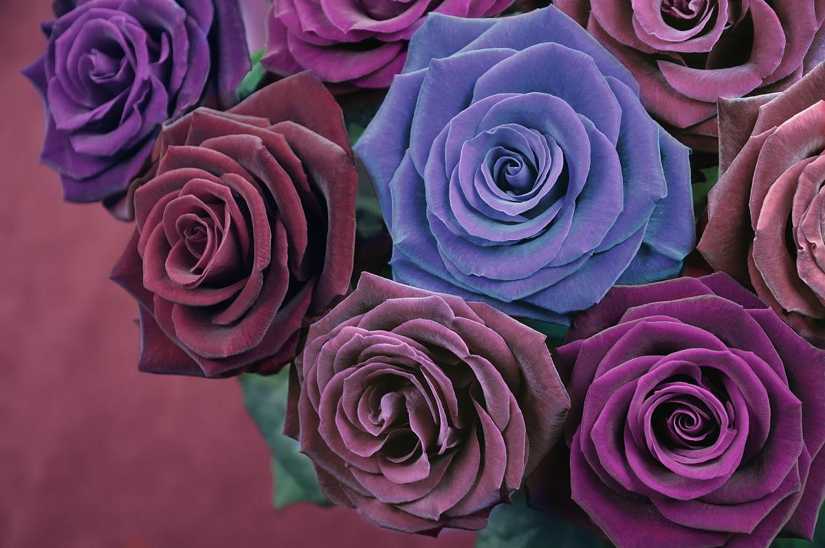 深宫风云之玫瑰_深红色,紫色,玫瑰色,紫色和蓝色的玫瑰