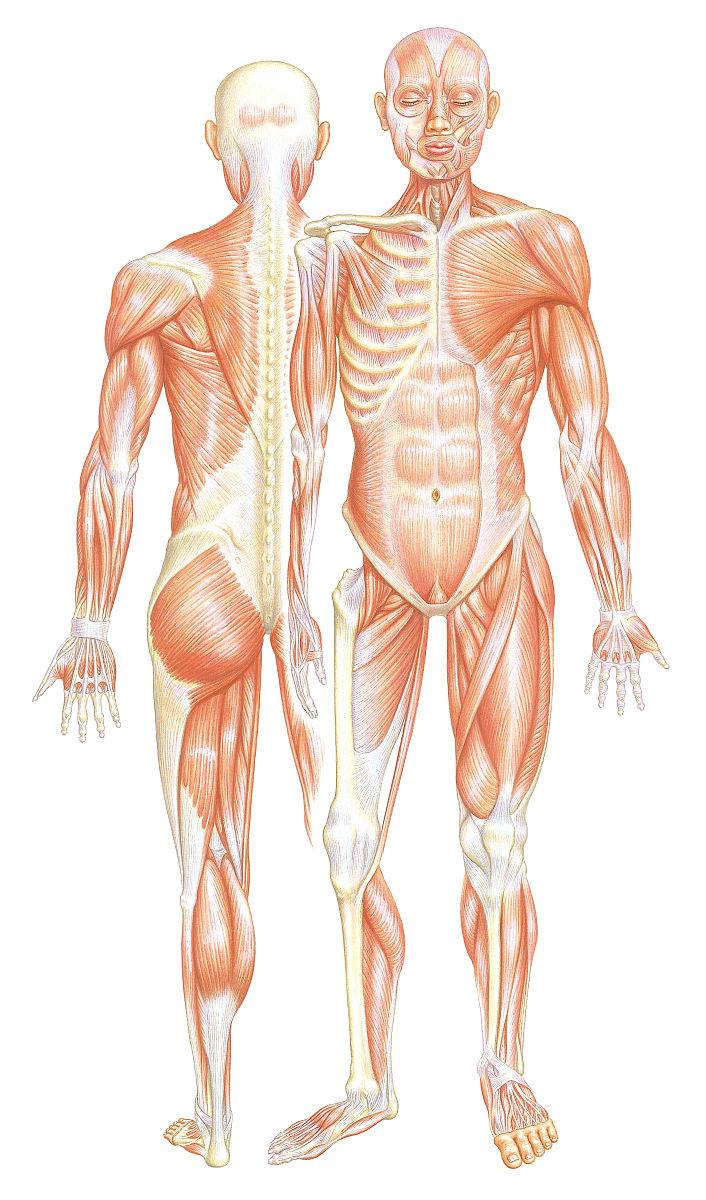 肌肉_人体肌肉系统的前后视图