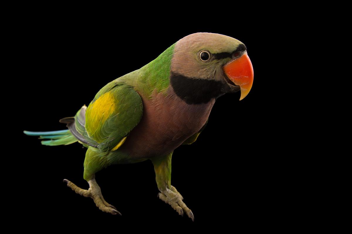 亚历山大鹦鹉繁殖箱_一个亚历山大鹦鹉,鹦鹉鹦鹉,在阿萨姆邦动物园和植物园.