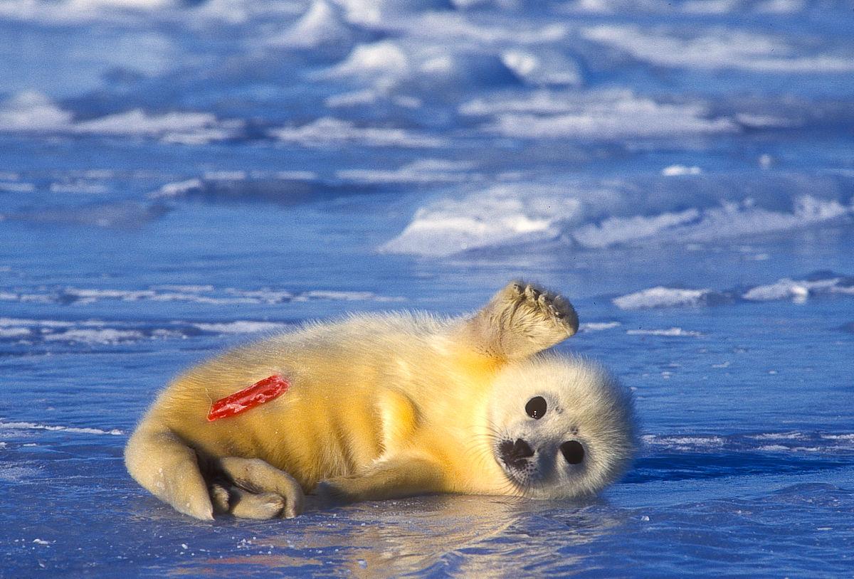 在冰面上,phoca groenlandica一个新生的竖琴海豹,挥舞.图片