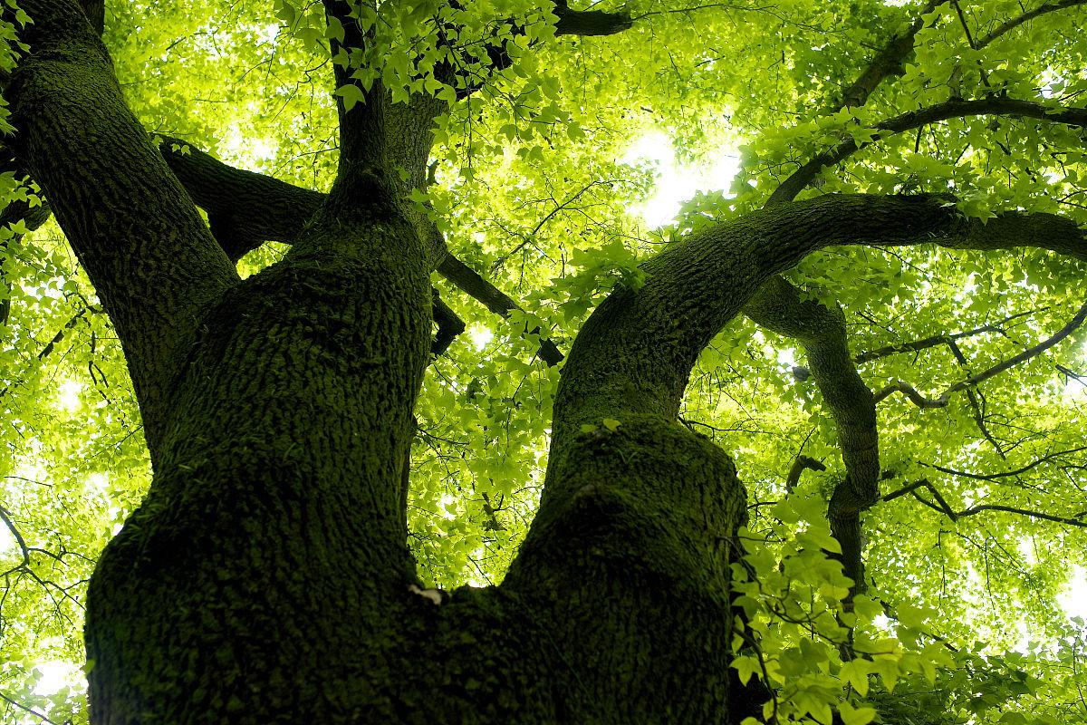 义马市招聘�y�k��d_望着一棵又大又宽的树