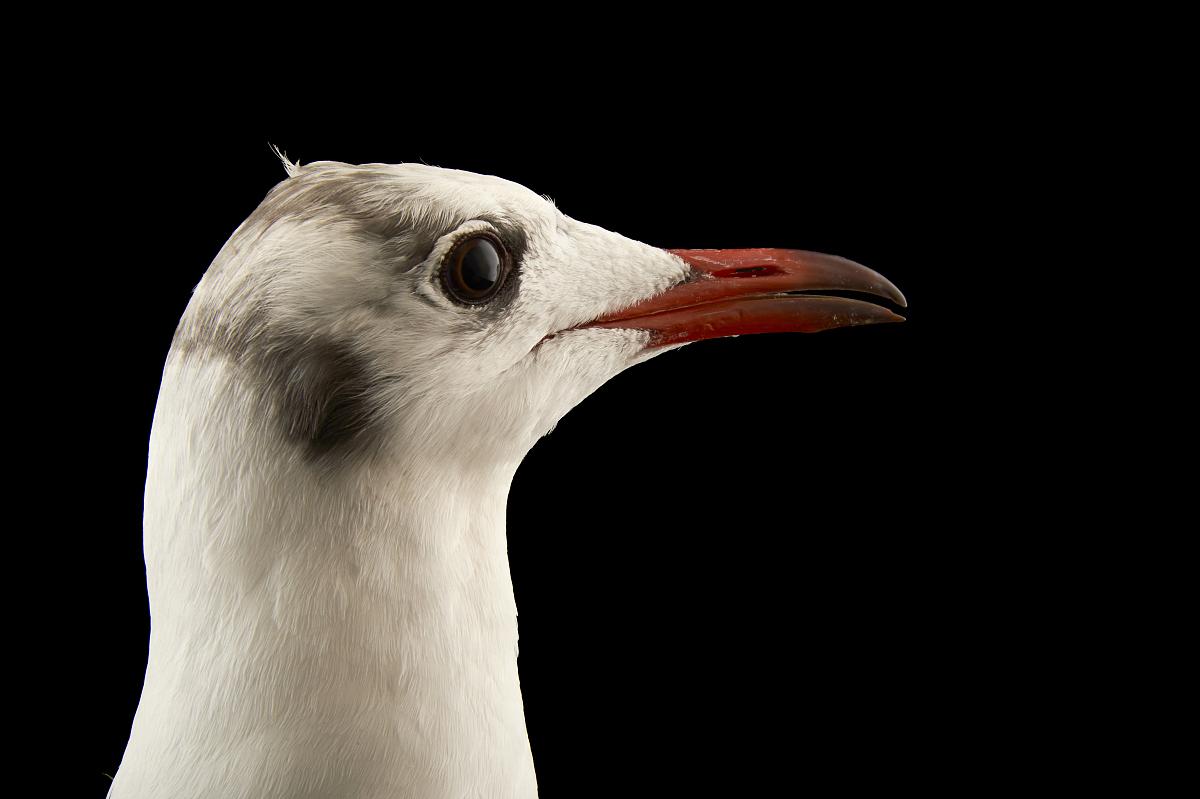 一只黑头鸥,larus ridibundus,在比尔森动物园.图片