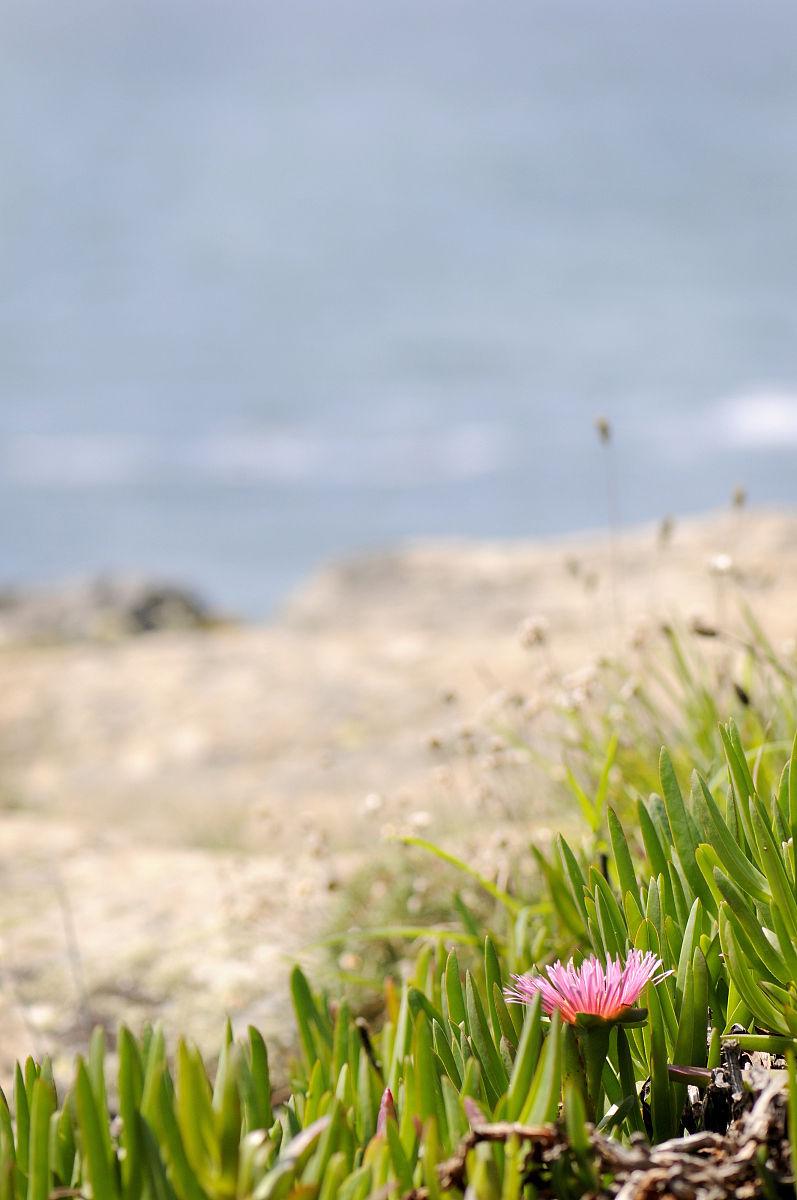 我和朋���h�i�_紫色露厂(disphyma crassifolium),一个在英国沿海地区发现的外来物种