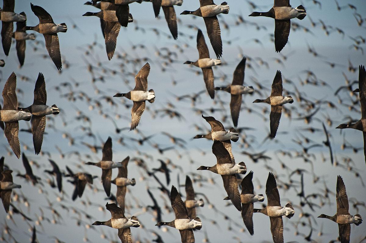 一群�yf�yl#�kjye,y�9�c_一群飞行黑雁