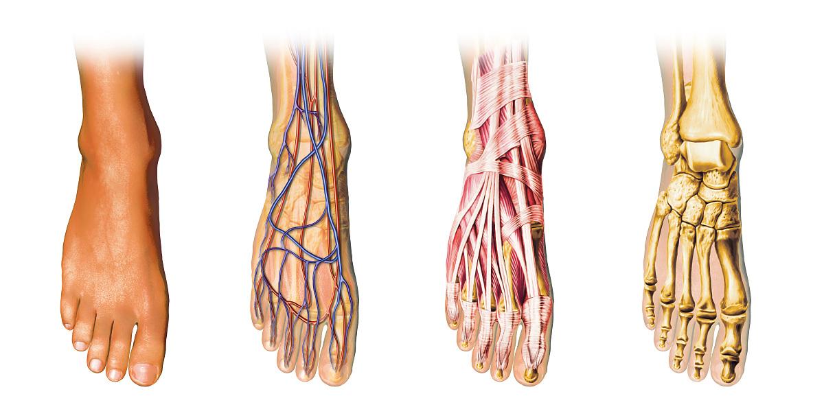 腰部骨骼固)�_人体足部解剖显示皮肤,静脉,动脉,肌肉,骨骼,剖视图.