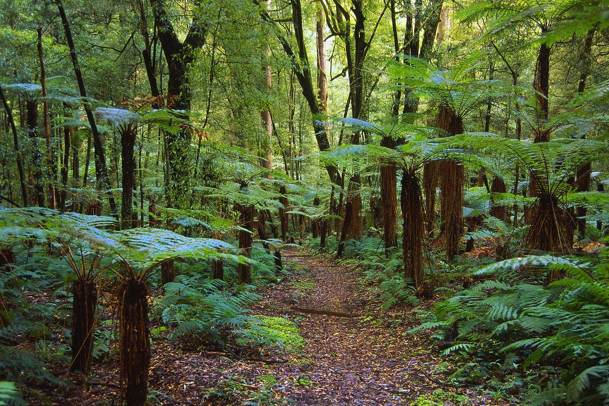 穿过雨林,菲利纳奇森林公园,新西兰图片