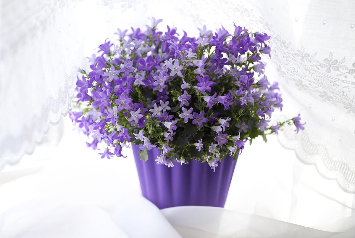 campanula flowers在窗台上
