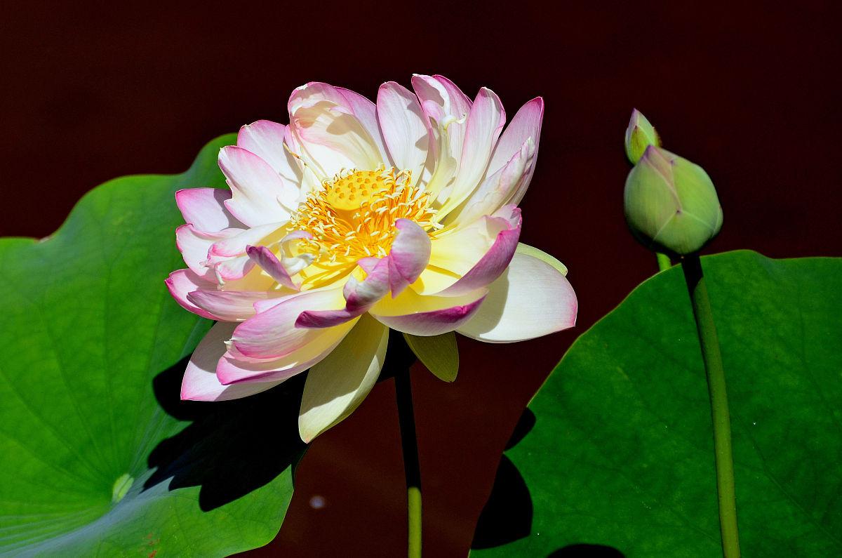 符号,水平画幅,美国,花,花头,佛教,佛,荷花,花朵,摄影,仅一朵花,莲池图片