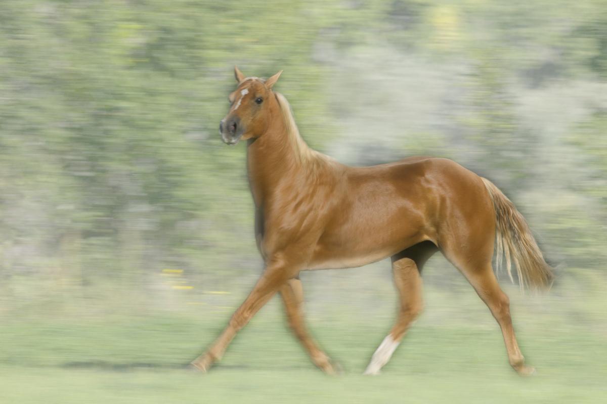 帕洛米诺马小跑图片