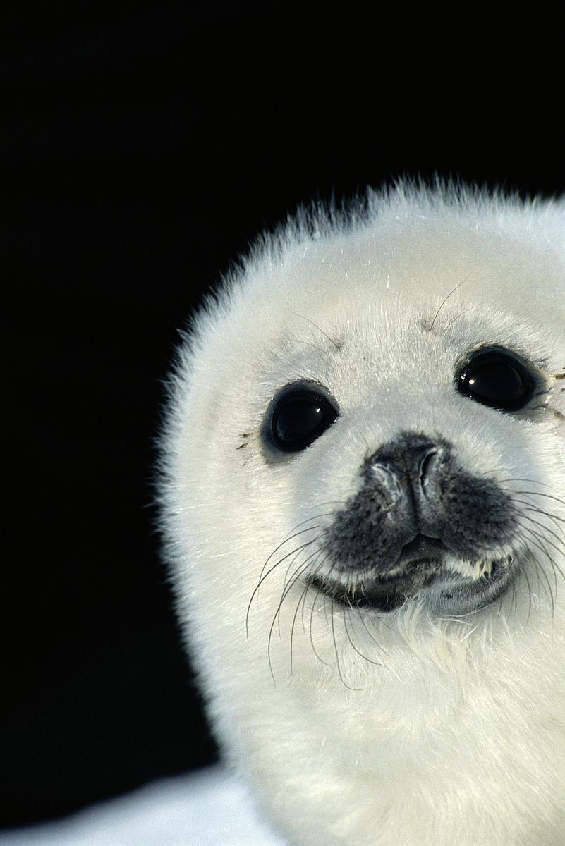 竖琴海豹(phoca groenlandica),关闭图片