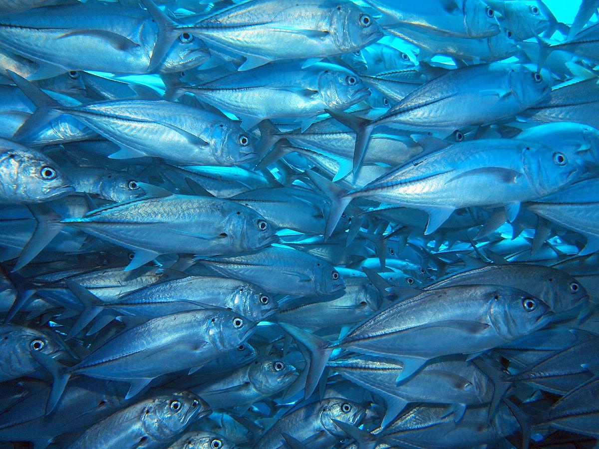 鱼类,彩色图片,冲绳县,大群动物,鱼群,动物主题,无人,摄影,海洋生命图片