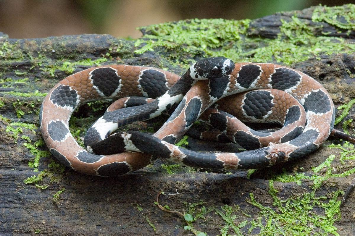 �yf�yil�..���zgd�#byi)��)�lc_华丽的蜗牛吃蛇(dipsas catesbyi).秘鲁亚马逊.