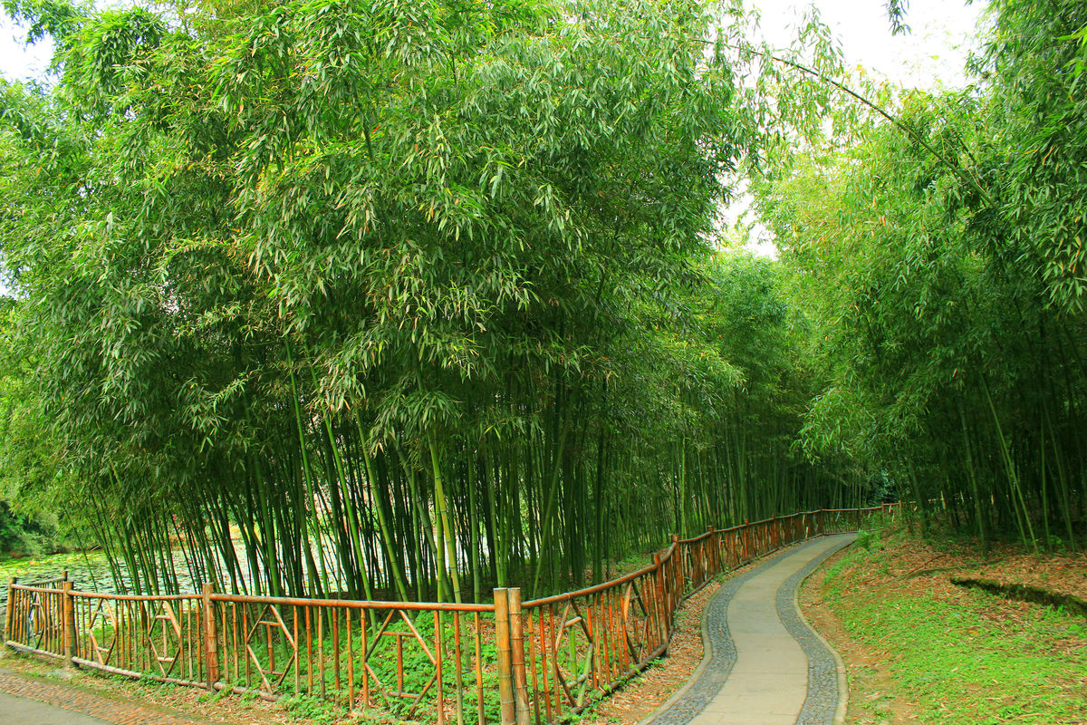 竹子,毛竹,竹林,竹海,绿色竹子,竹子背景,竹子桌面,大自然竹子,节约图