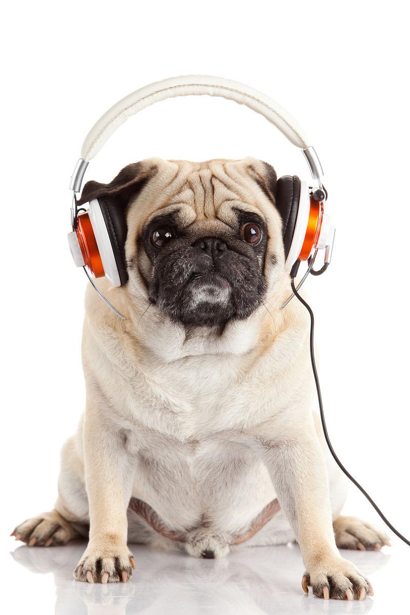 关键词:听音乐的狗,听音乐的狗图片素材,听音乐的狗图片下载,音乐