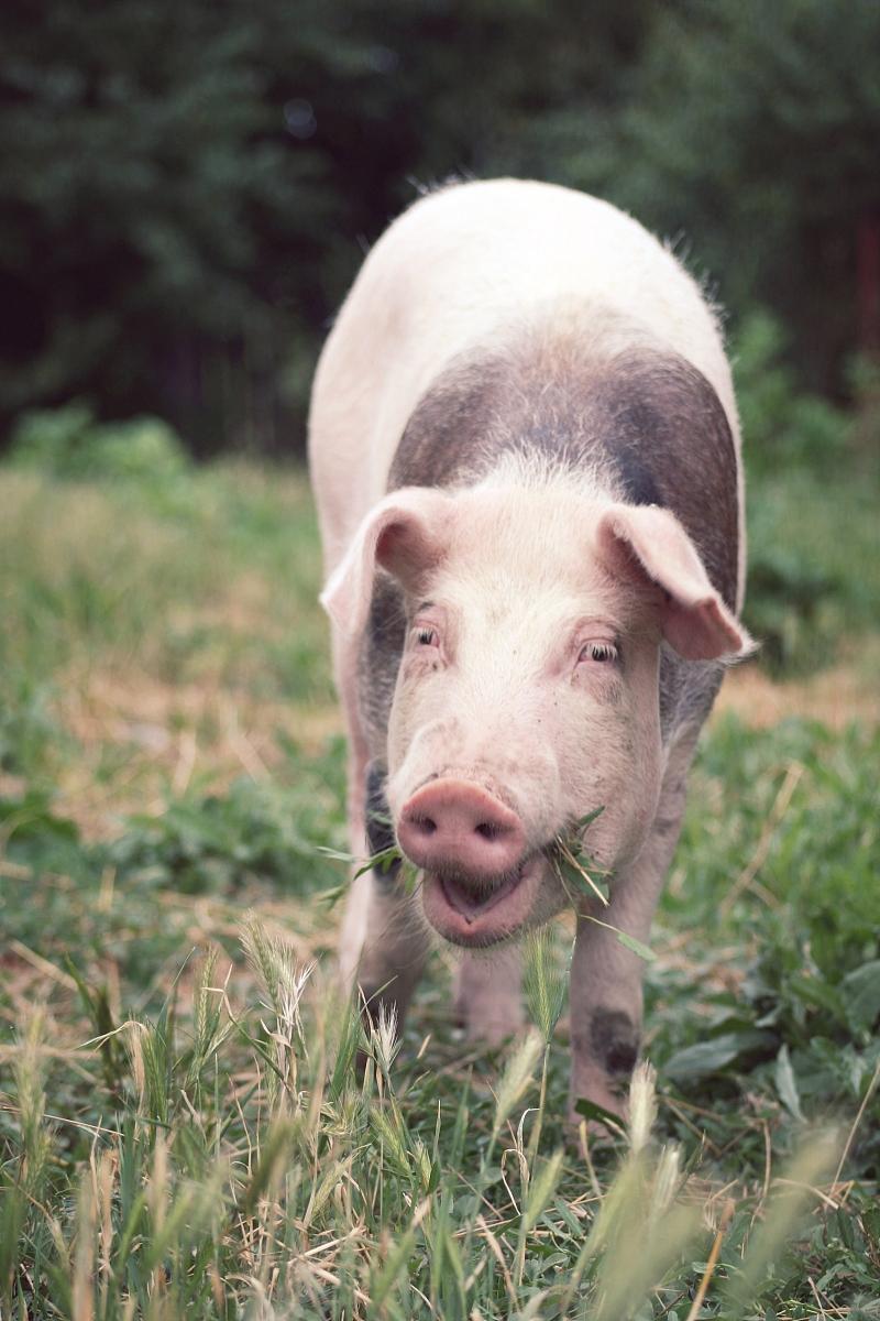 猪吃食 表情分享展示