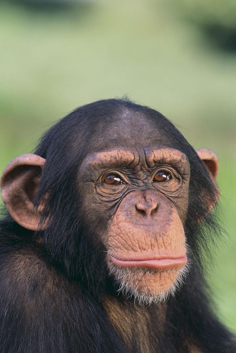 黑猩猩表情 喜分享展示图片