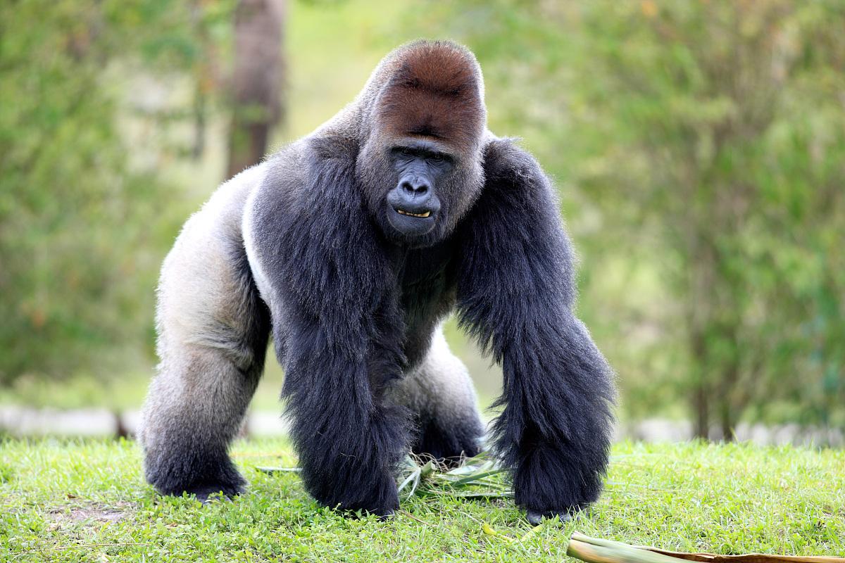 黑猩猩表情包要东西分享展示图片