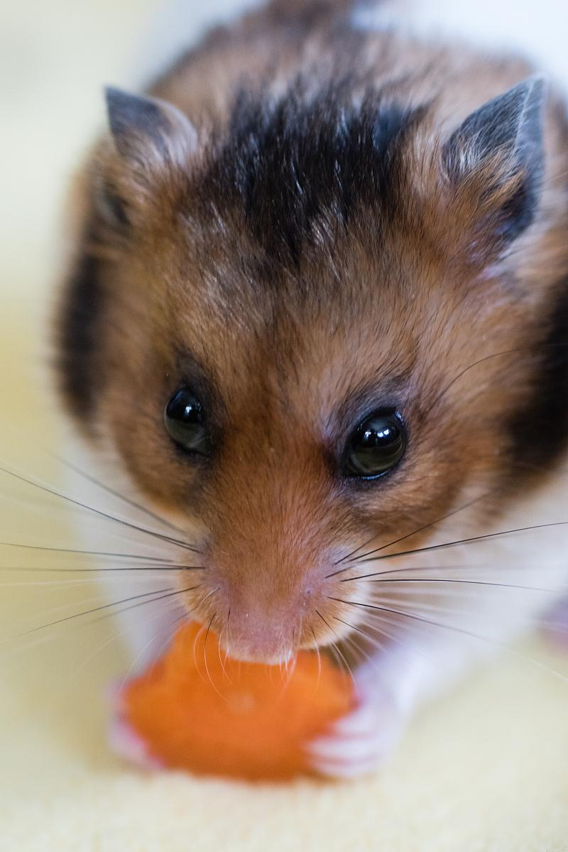 加卡利亚蝴蝶宝宝的注意事项手工凉鞋仓鼠饮食图片