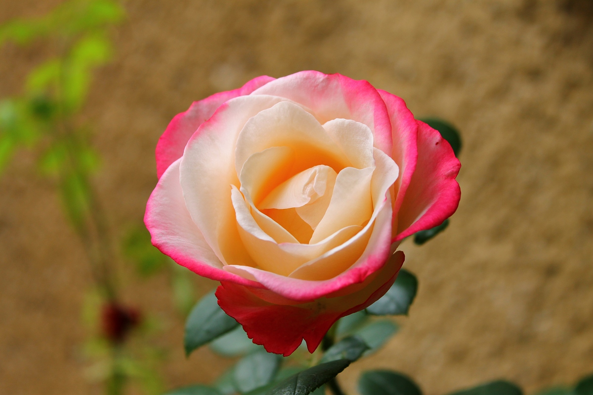玫瑰公爵未删节版