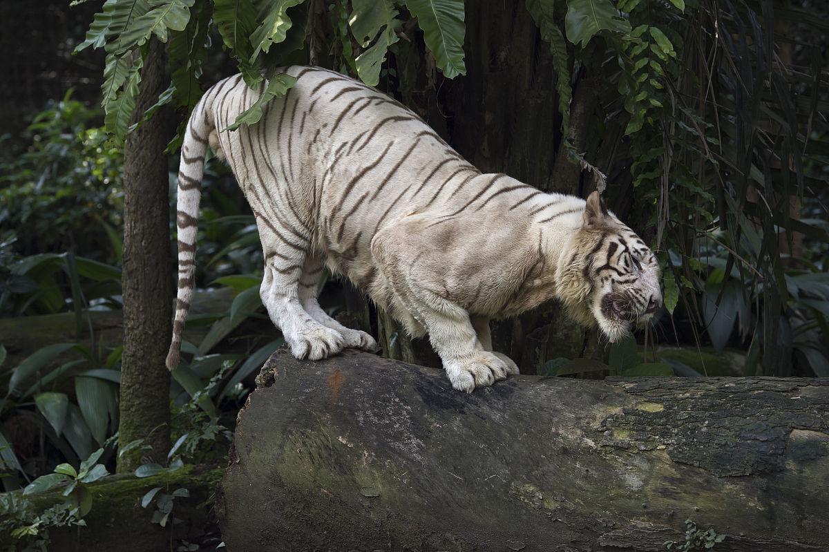 欧美高清白虎_新加坡 白虎 magnet