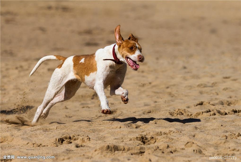 动物,宠物,玩耍,狗,动作,敏捷,满意,运动,跑,动感,延期,移动,走,比赛图片
