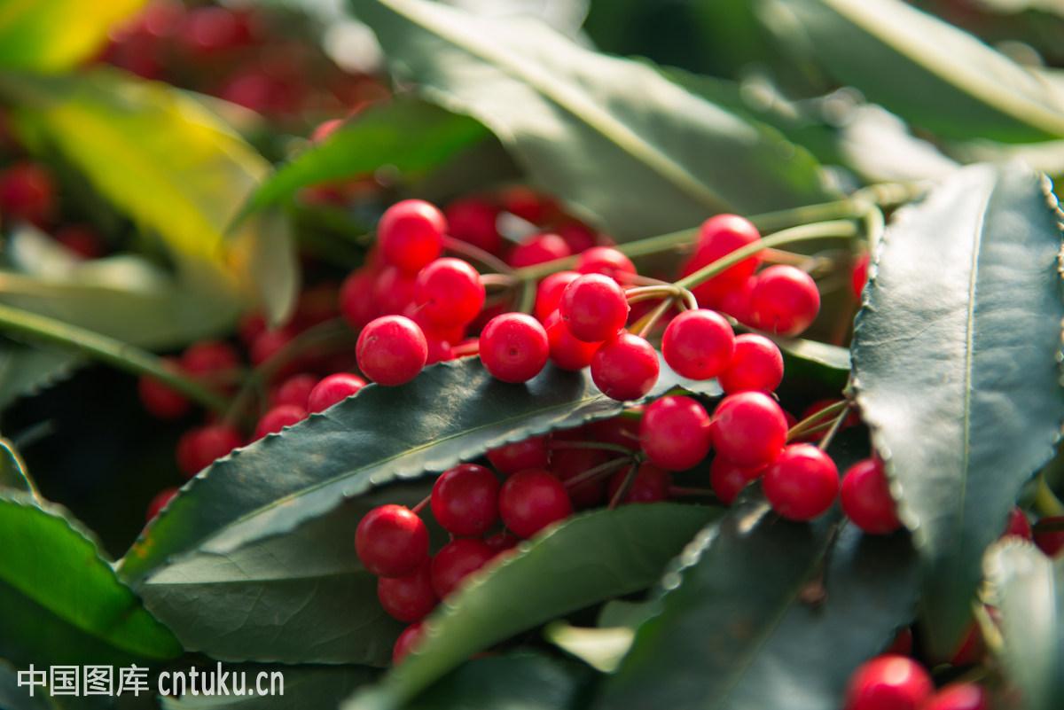 有种叫富贵子的植物结的红果能吃不