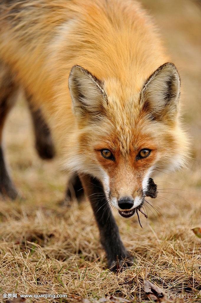 搜神记之斑狐_红狐,狐属,草地,田鼠,捕食