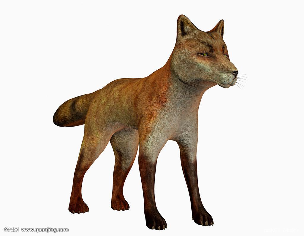 狗跟狐狸杂交_动物,皮肤,插画,食肉动物,狐狸,狐尾草,猎捕,动物园,狗,动物世界,英国