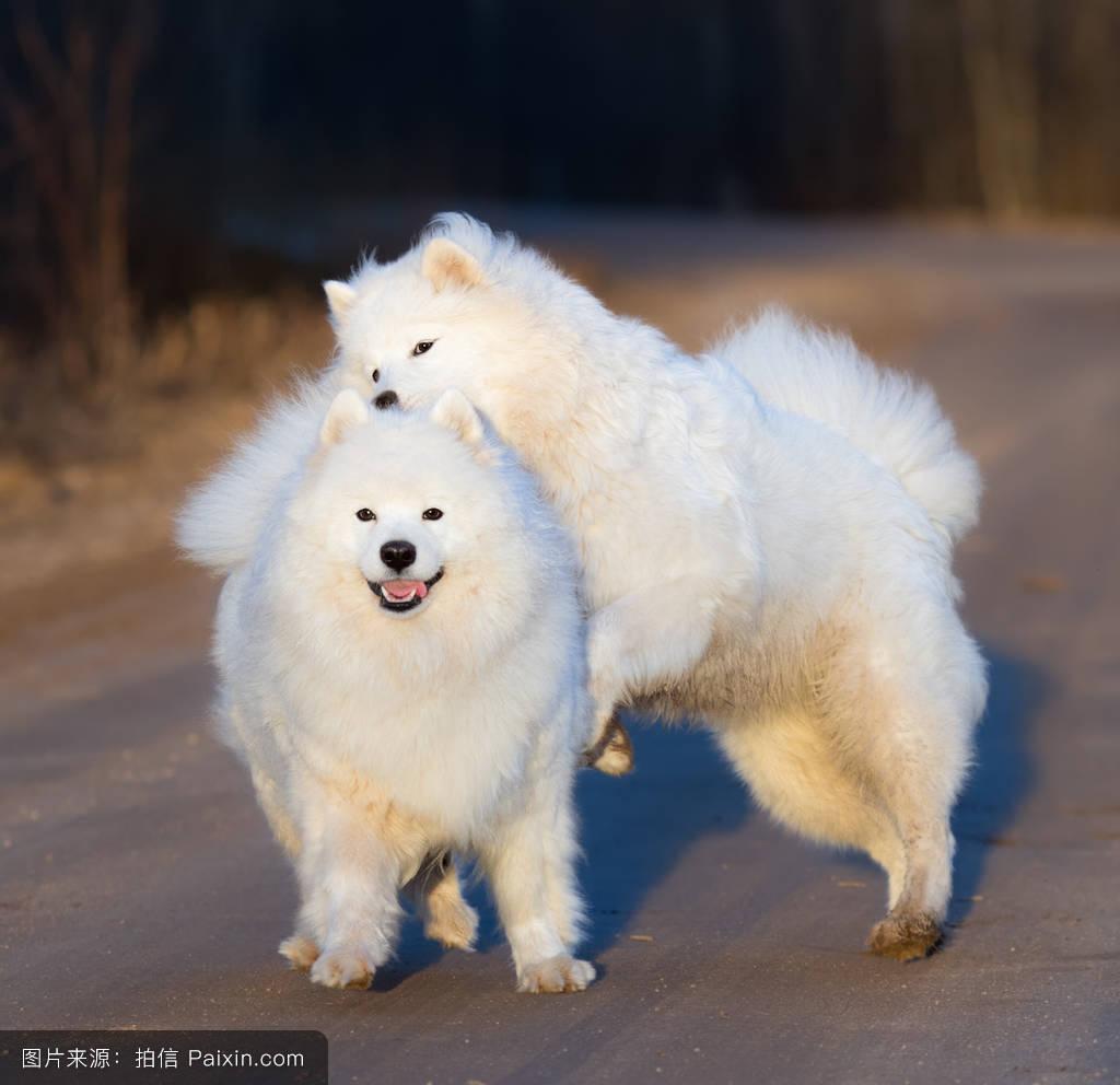 萨莫耶_萨摩耶犬和小狗玩沙土路日落.