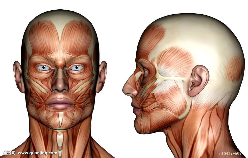 肌肉_脸,肌肉