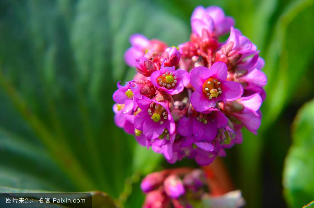 躹iiy��:�9d�y�#�.b9�-_bergenia cordifolia bergenia云杉或巴