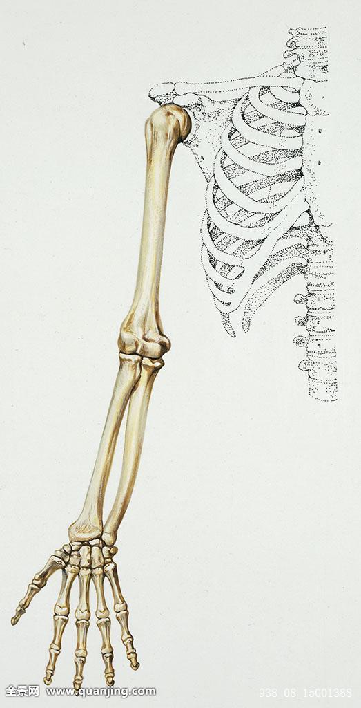 竖图,局部,白色背景,胳膊,手,科学,医疗,身体部位,身体,骨头,骨骼图片