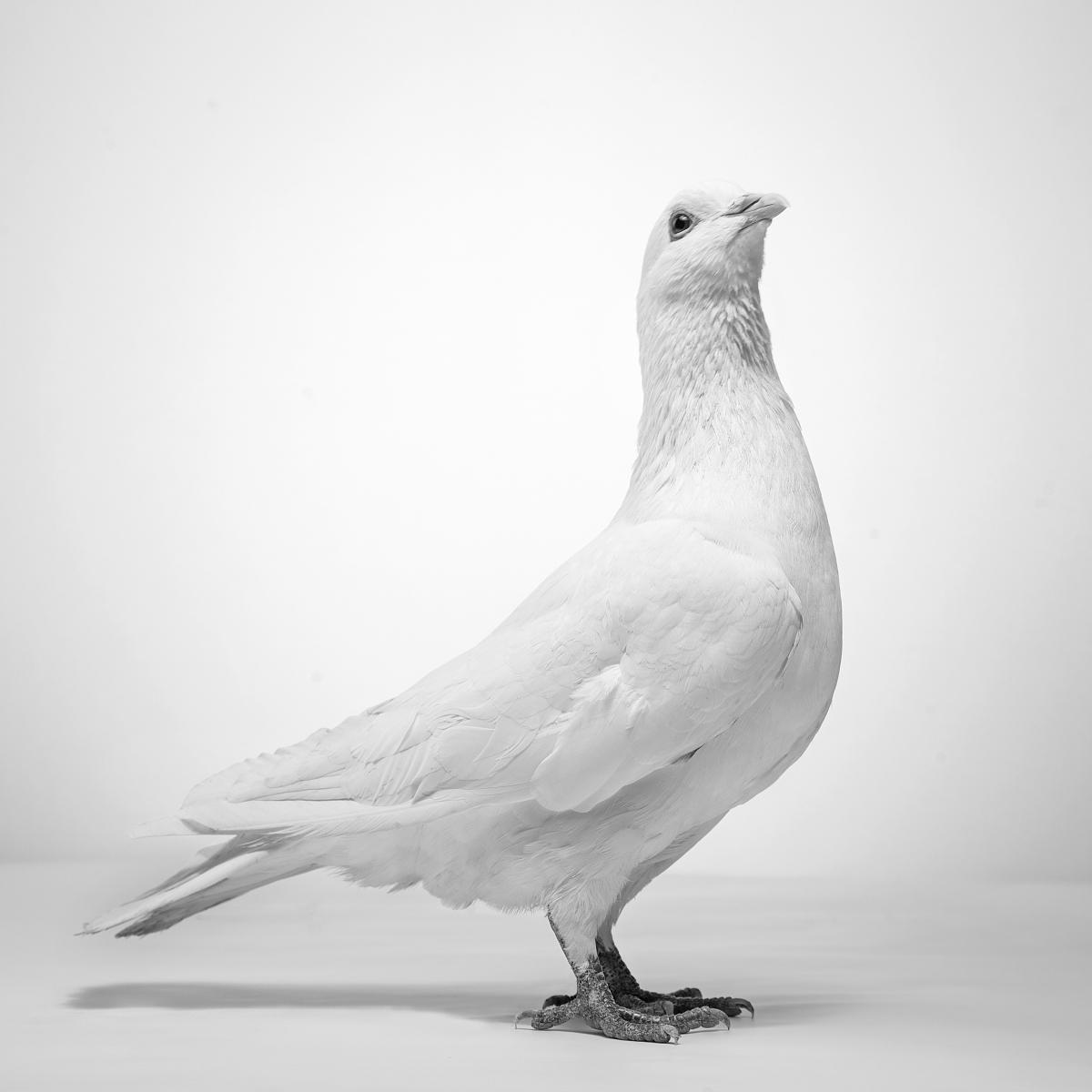 信鸽 2015 03 8881684是不是公棚鸽子哪个公棚的