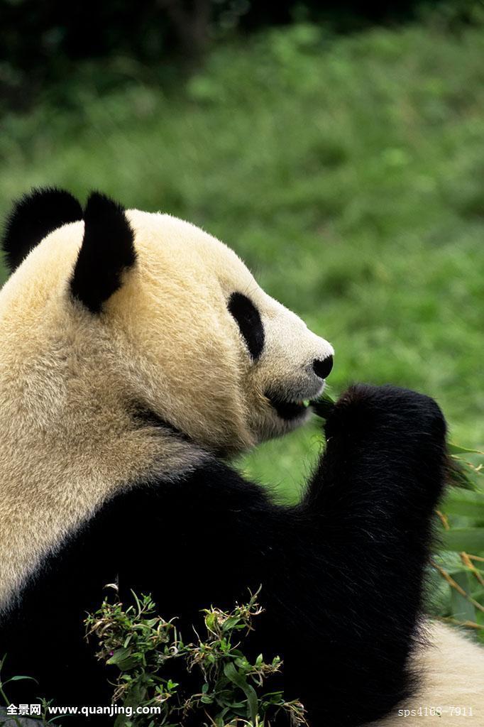 人与动物乱论����y�-yol_进食,照片,饥饿,动物,竖图,囚禁,可爱,侧面视角,熊猫,无人,动物头部