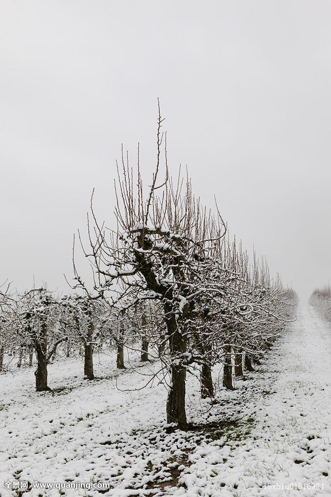 梨,果园,冬天,巴登符腾堡,德国,欧洲图片
