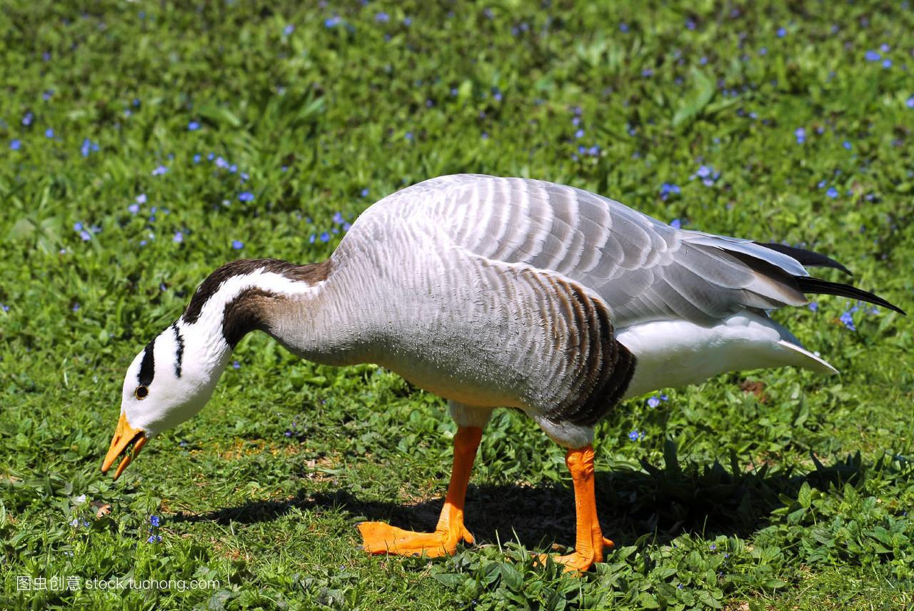 鹅��嫹�9��y�'�f�x�_步行,鸟,草,草坪,绿色,鸭科,侧身,细节,特写,动物,鹅,灰色,自然