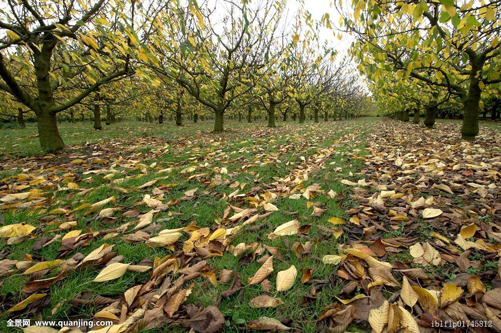 果园,秋天,落叶,英格兰,英国,欧洲图片
