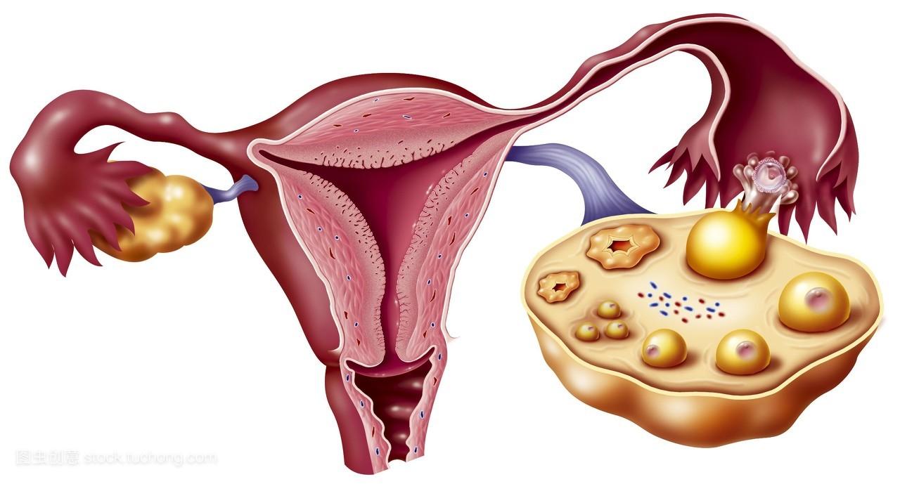 女裸体阴门艺术_正常,科技医疗,解剖学,解剖,输卵管,子宫,简单背景,女性生殖器官