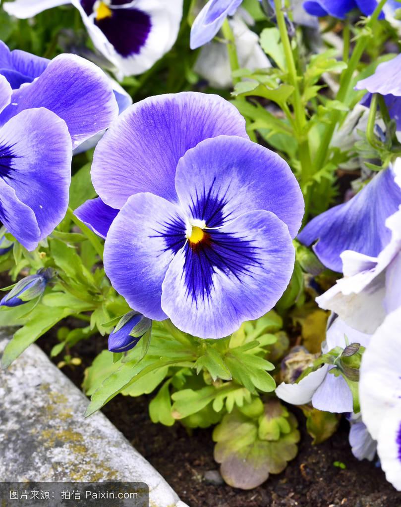 三色花_蓝白三色花