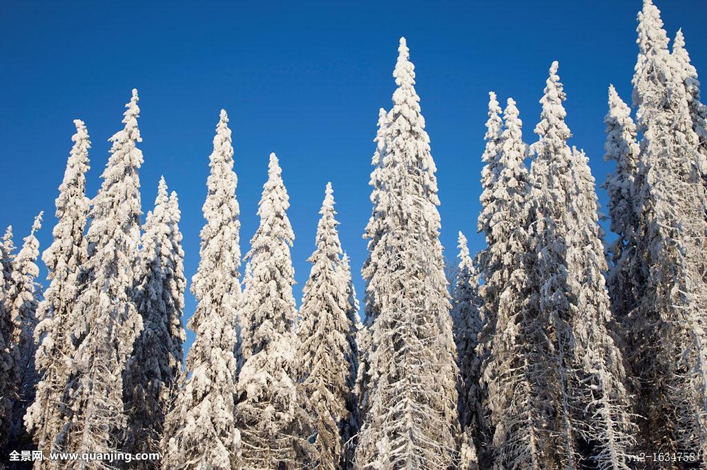 雪,云杉,欧洲云杉,树,冬天,位置,芬兰,斯堪的纳维亚,欧洲,欧盟图片