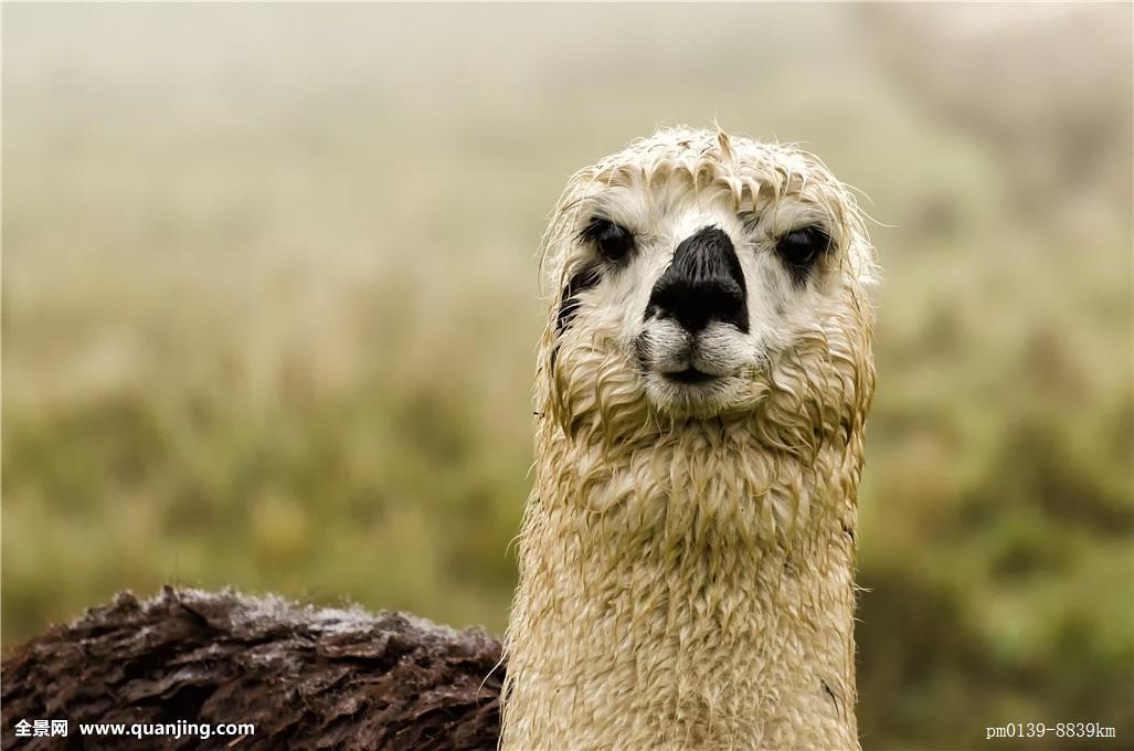 骆驼有几层眼睫�_南美,羊驼,秘鲁,安第斯山,厄瓜多尔,山,动物,好奇,骆驼,眼睛,耳,皮肤