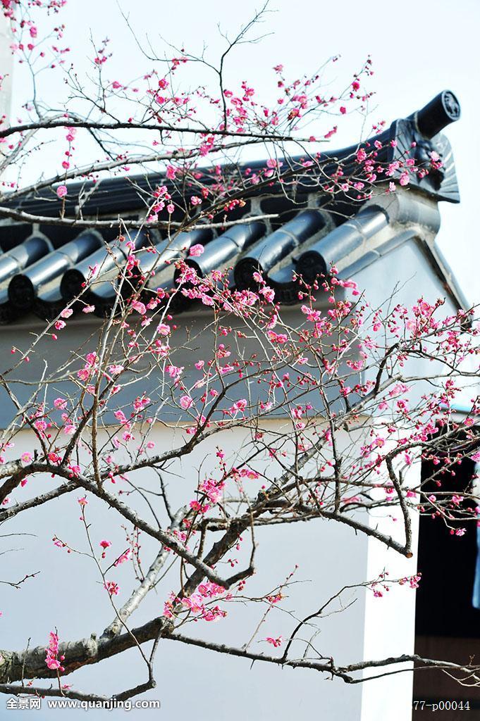 晴天,有阳光的,春天,梅花枝头,无序的,青砖黛瓦,白墙,古建筑,徽式建筑图片
