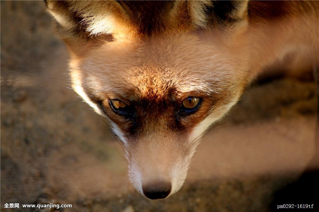 狗跟狐狸杂交_狗,食肉动物,狐狸,中欧,窝,小狗,幼兽