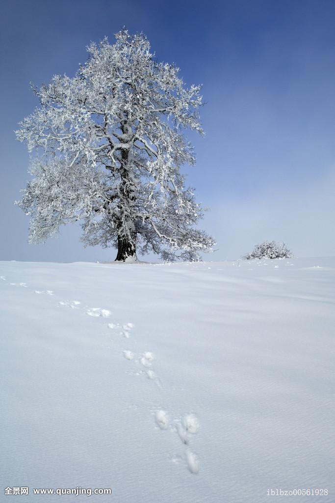 栎属,栎树,冬天,兔子,脚印图片
