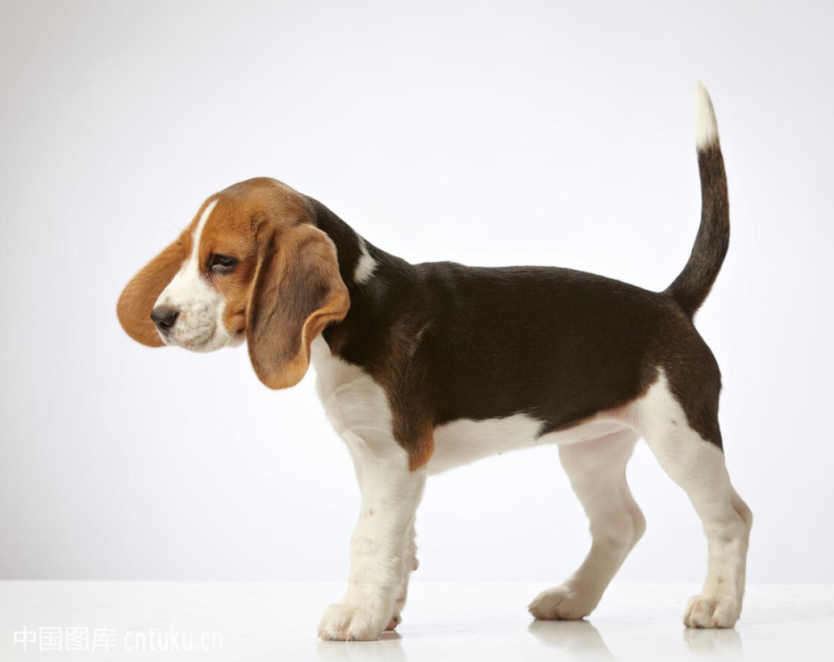 人在狗耳朵边说话套路-对着猪耳朵说话表情包-和狗狗图片图片