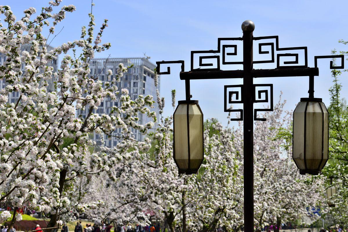 花蕊,路灯,小果海棠,海棠树,花朵,花卉,鲜花,海棠花图片,公园绿化图片