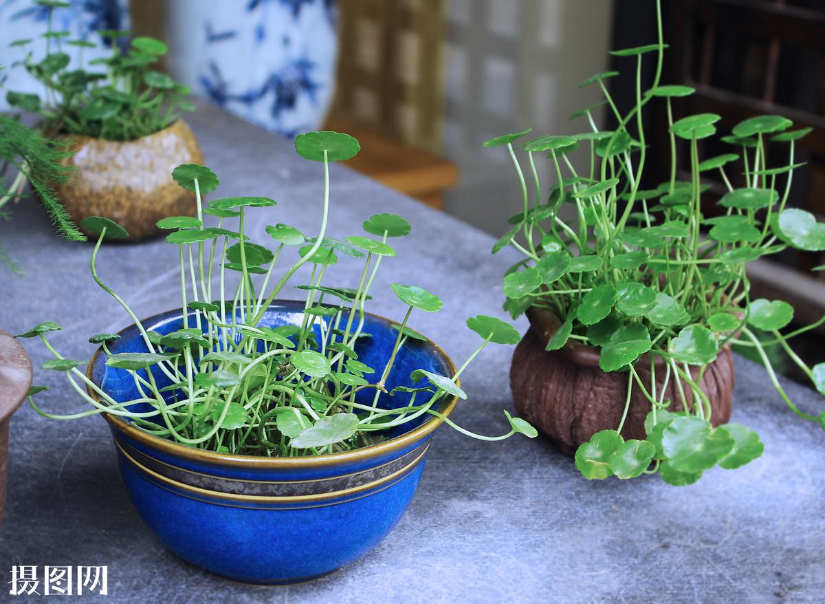 水养�:--y��yan������y��_盆栽,植物,横幅,绿色,彩色,铜钱草,圆叶,水养